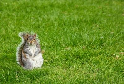 Squirrel In Grass